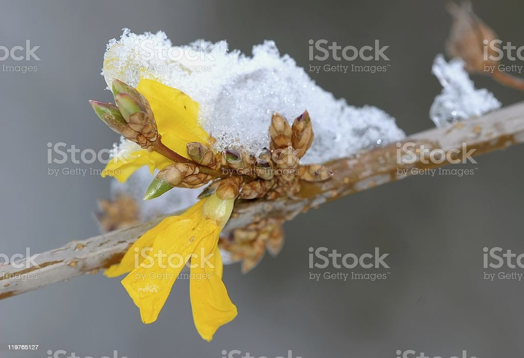 Forsythia is blooming in November stock photo