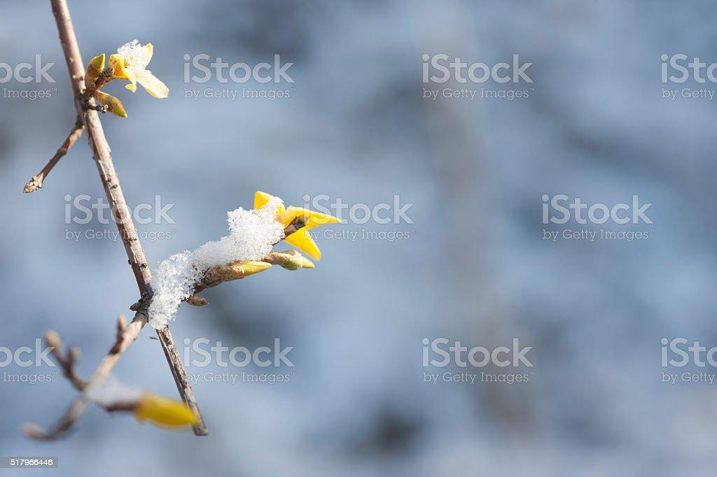 forsythia; snow stock photo