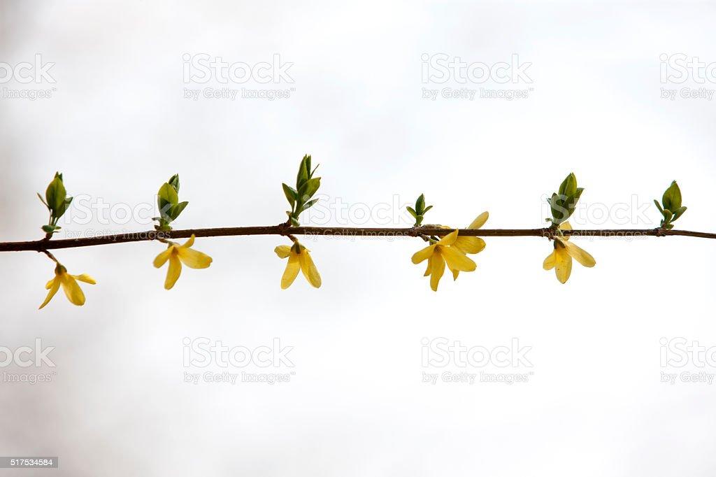 forsythia, sprout stock photo