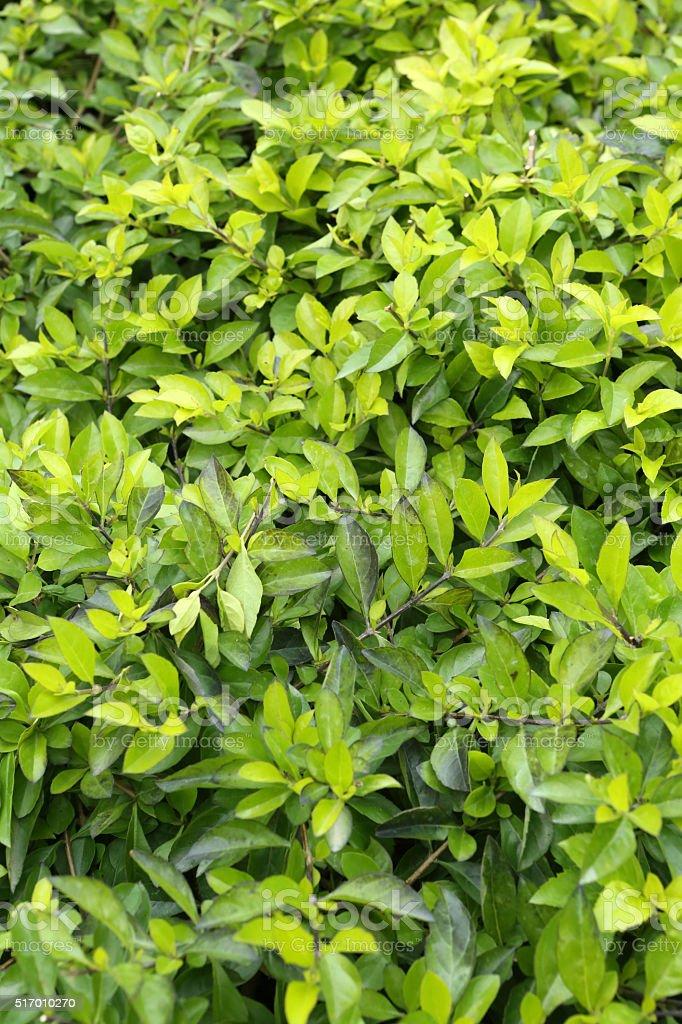 Forsythia suspensa stock photo