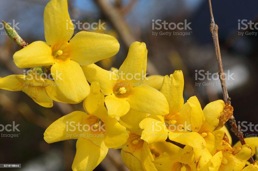 Forsythia x intermedia stock photo