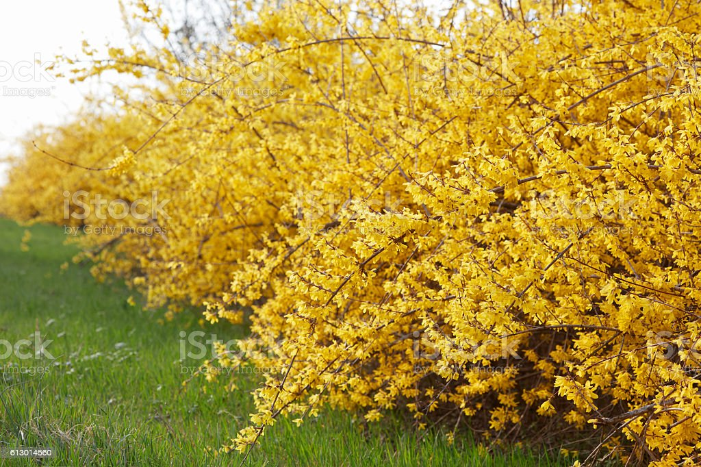Forsythia, yellow spring flowers hedge and green grass stock photo