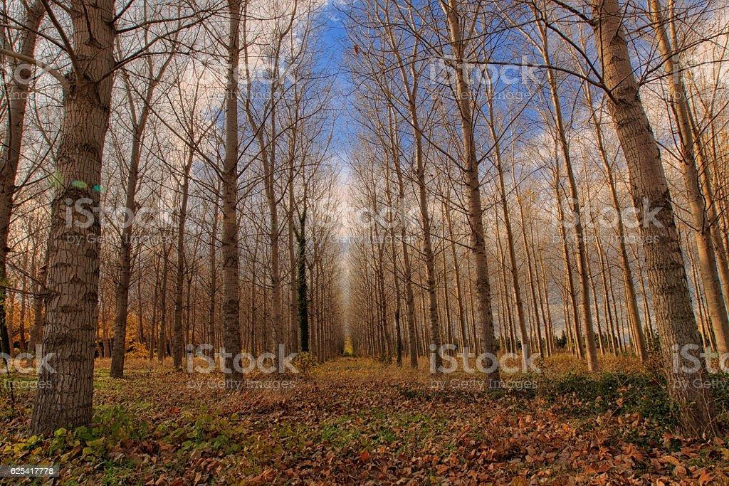 Forêt de peuplier en automne stock photo