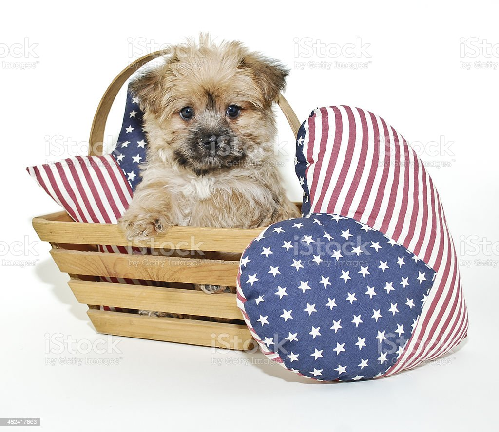 Forth of July Puppy stock photo
