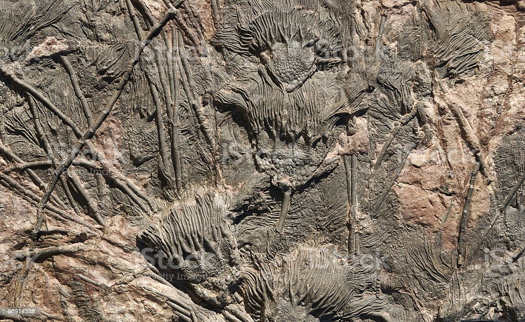 Fossil crinoids stock photo