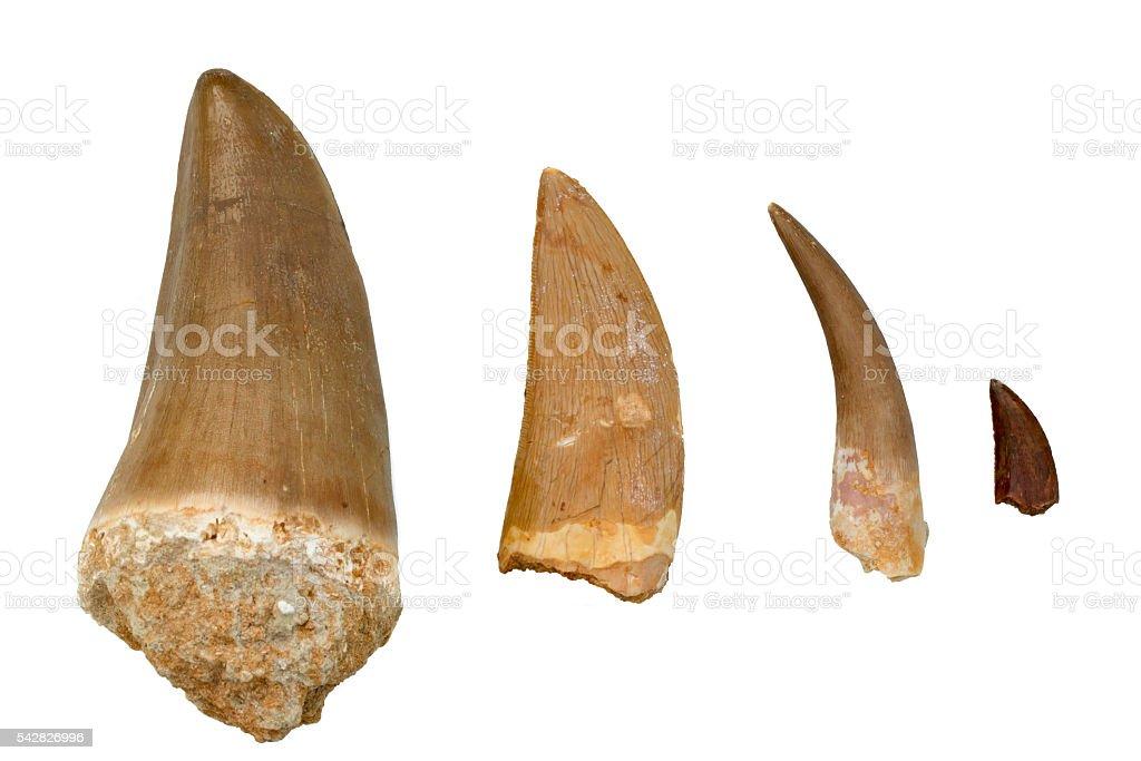 Fossil Dinosaur Teeth - Mosasaurus, Tyrannosaurus Rex, Plesiosaurus, Velociraptor stock photo