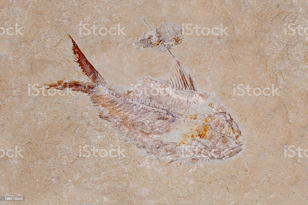 Fossil: Fish and Shrimp royalty-free stock photo