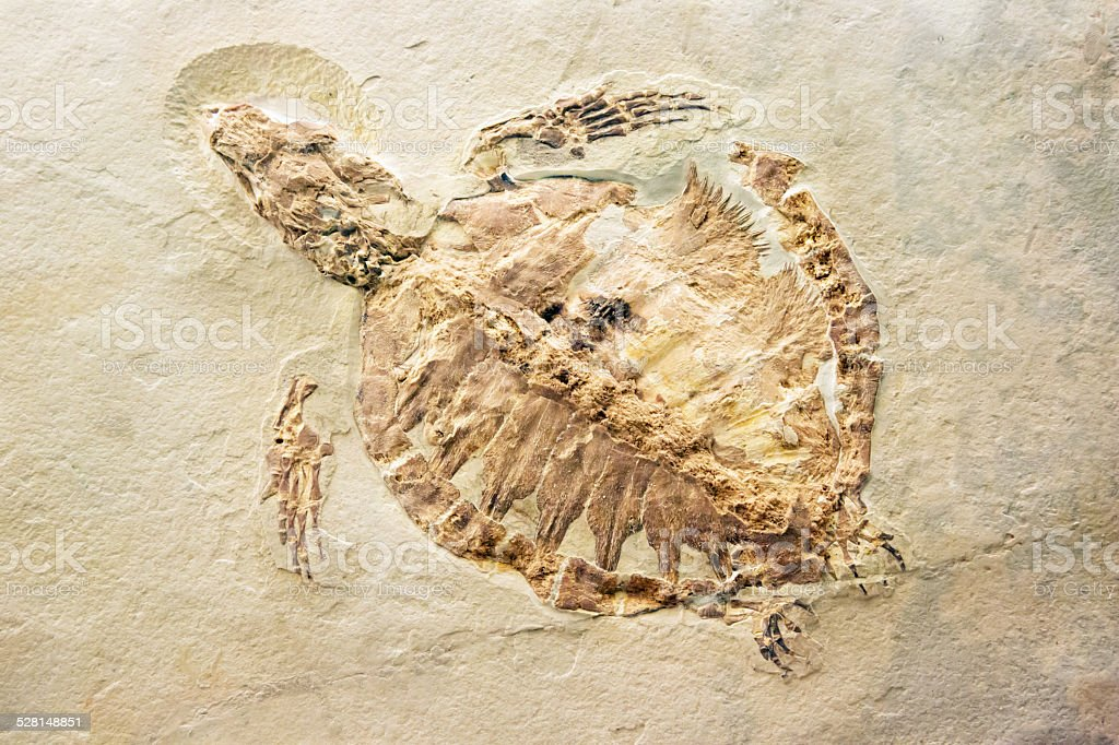 Fossil of a turtle stock photo