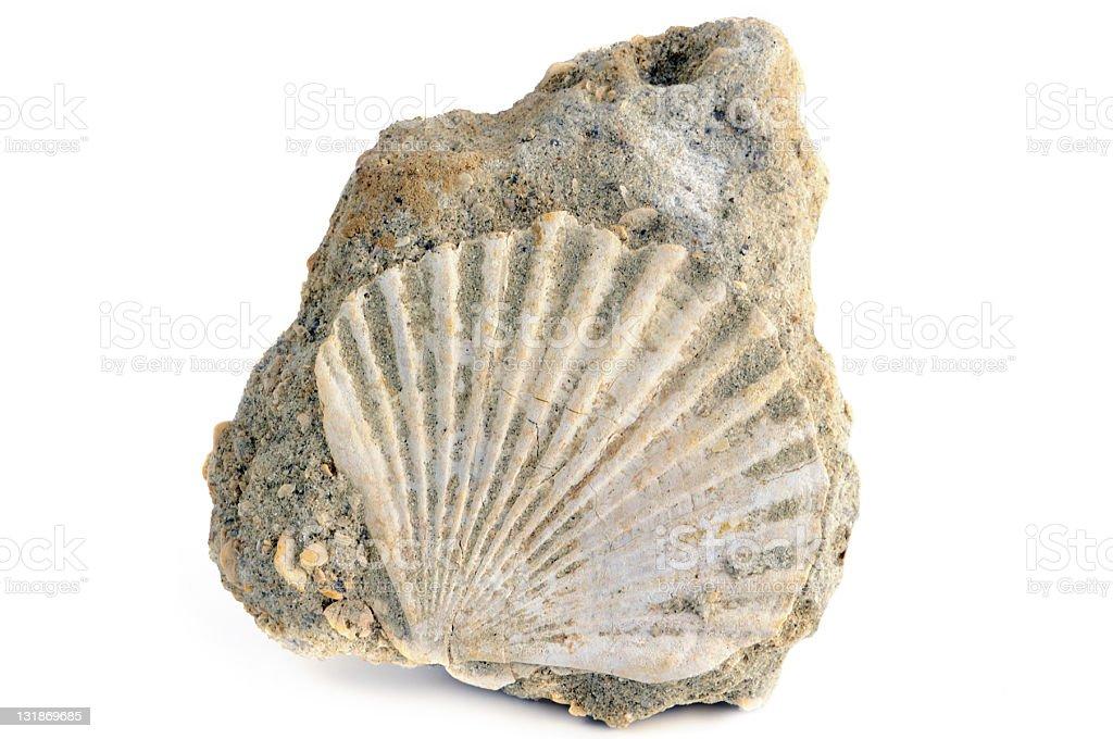 Fossil Shell Pectinidae on white background stock photo