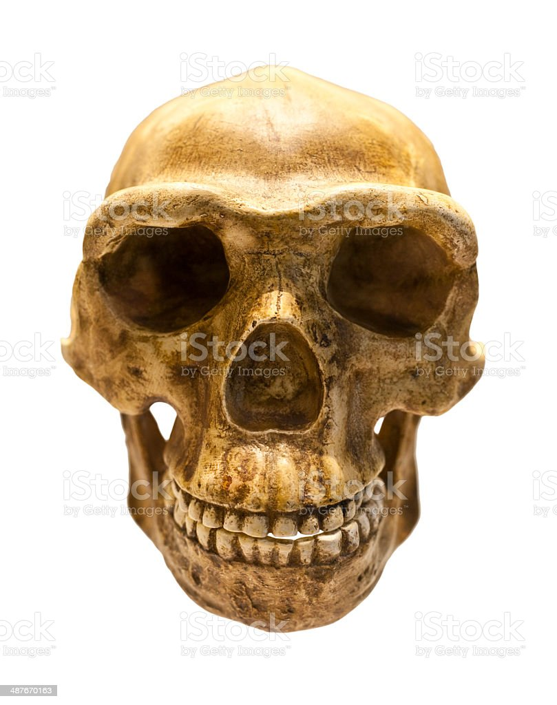 Fossil skull of Homo Antecessor stock photo