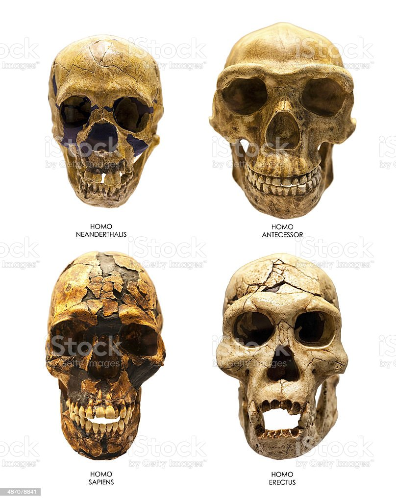 Fossil skull of Homo Erectus, Sapiens, Neanderthalis and Antecessor stock photo
