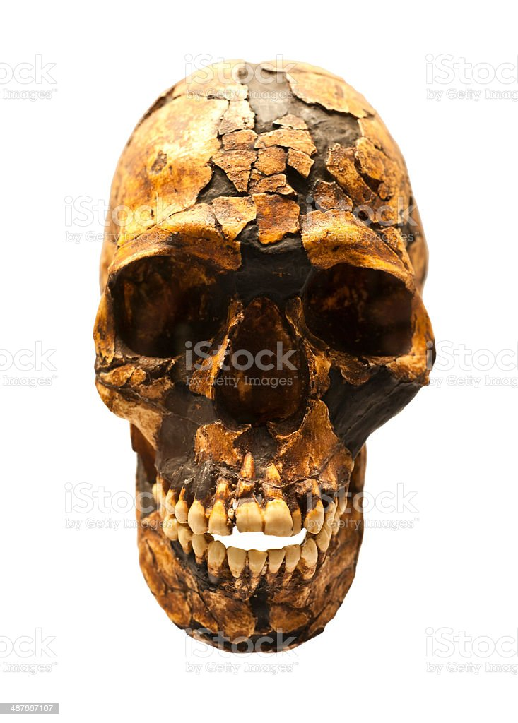 Fossil skull of Homo Sapiens stock photo