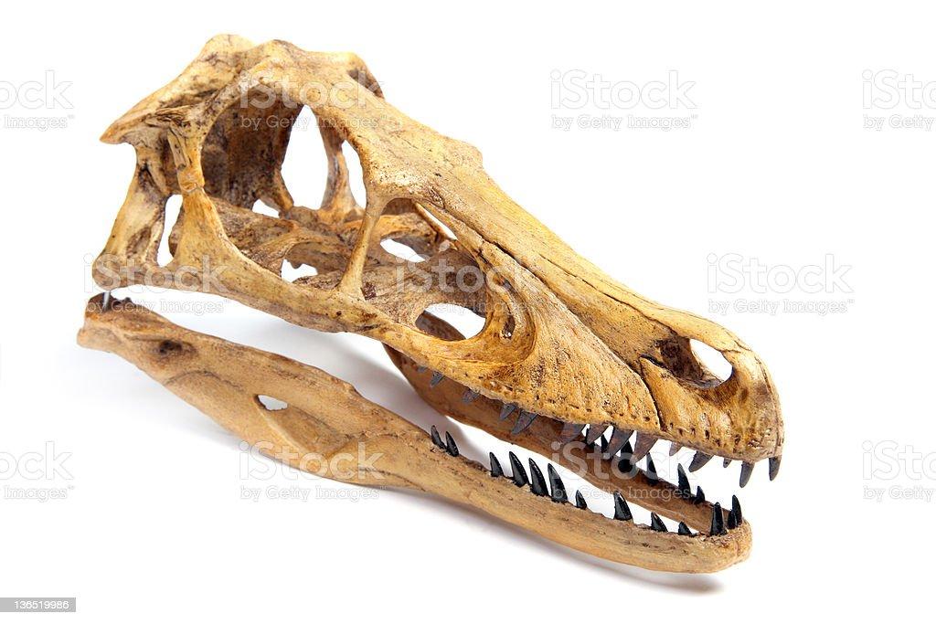Fossil velociraptor  skull stock photo