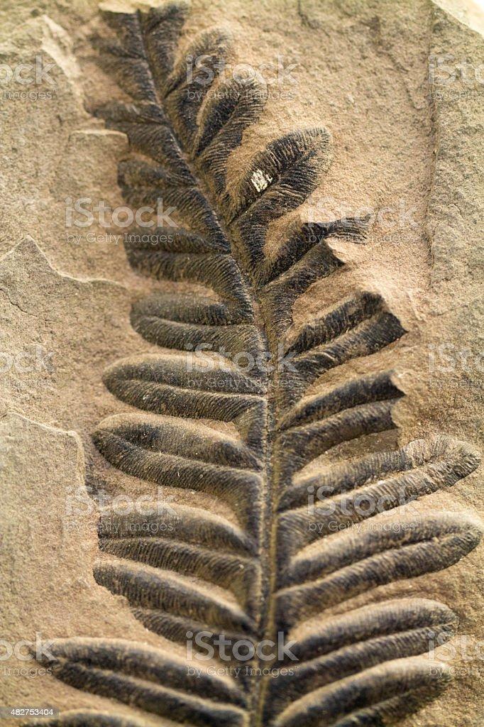 Fossilised Fern Leaf embedded in limestone stock photo