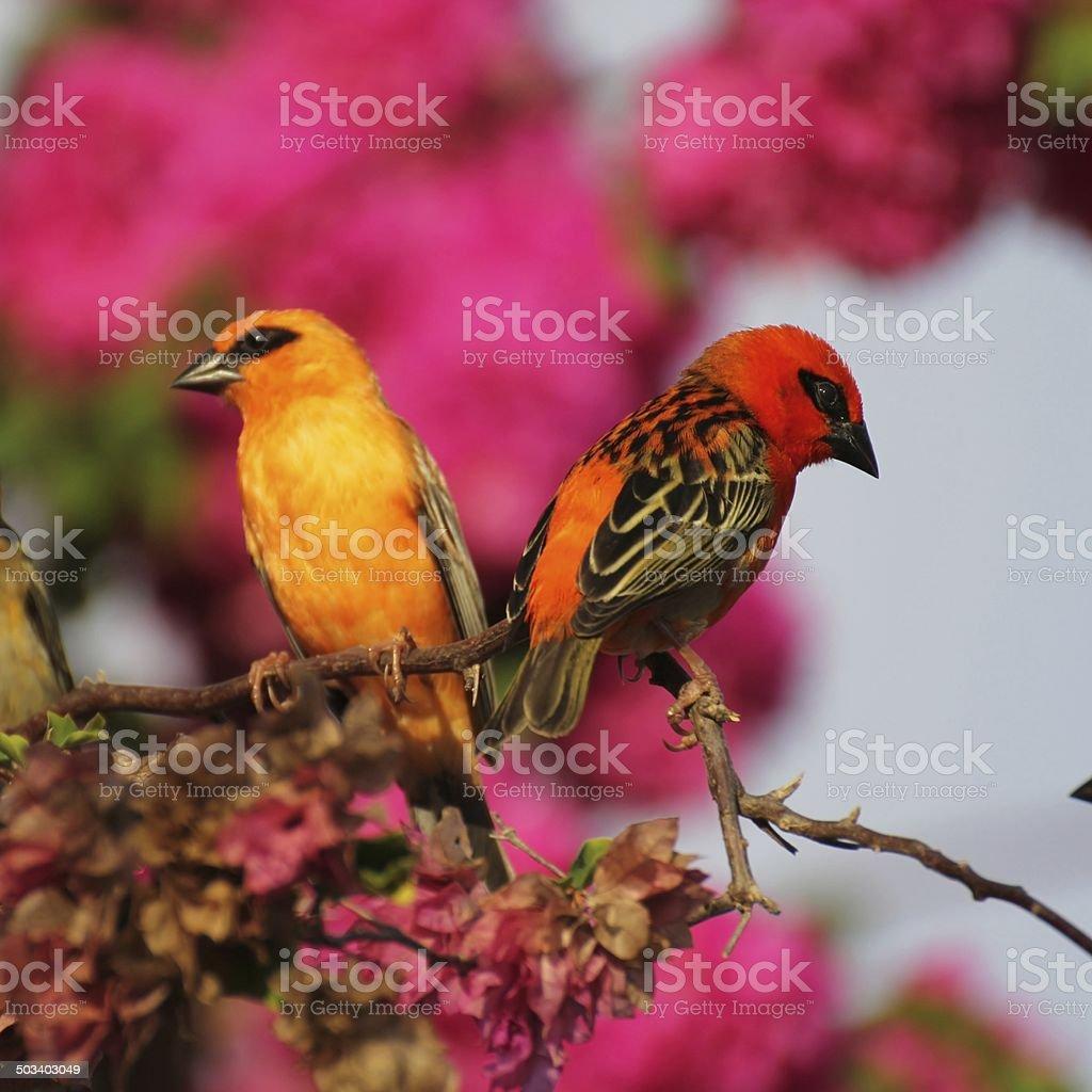Foudi, Cardinal, oiseau des Seychelles stock photo