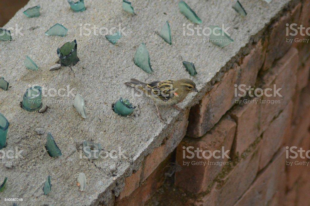 Foudia sur un mur couvert de débris de verre. stock photo