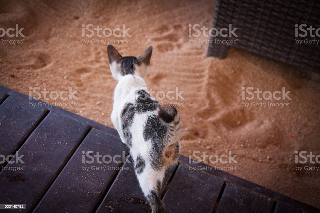 I found in Bali, a sad and skinny cat stock photo