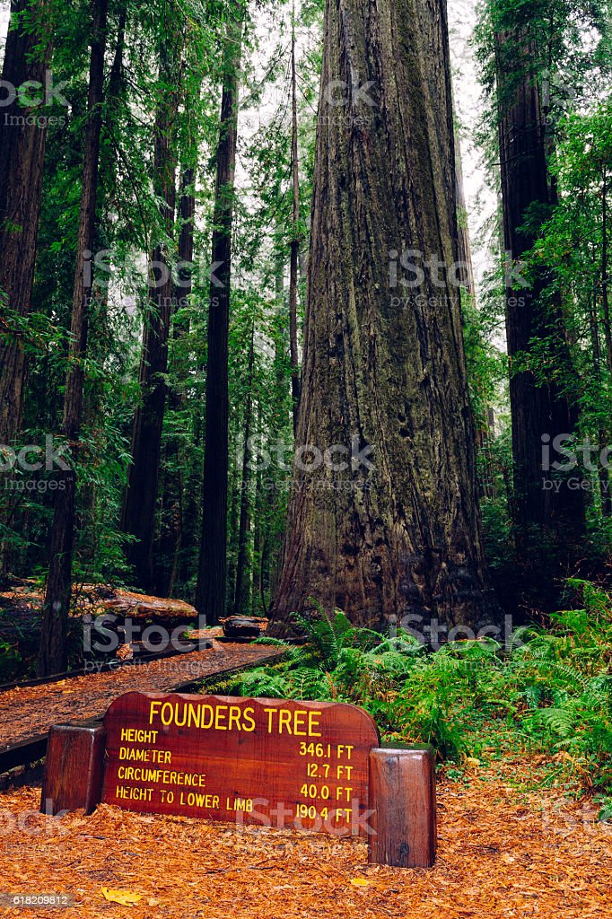 Founder's Tree, Humboldt Redwoods State Park, CA stock photo
