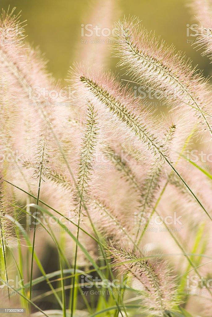 Fountain Grass in Autumn - II stock photo