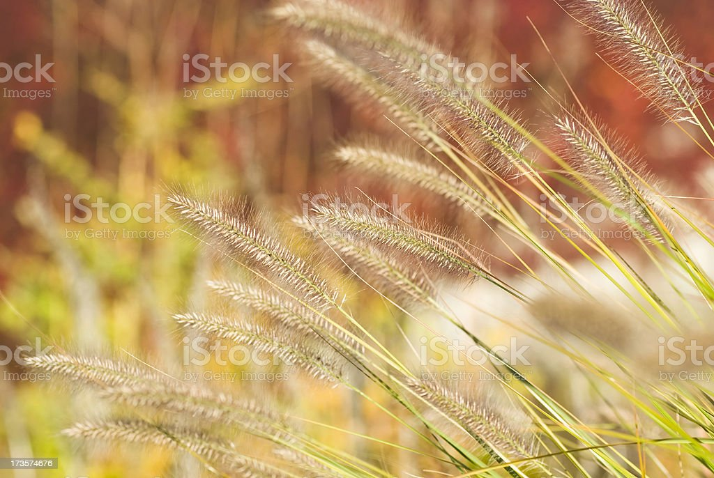 Fountain Grass in Autumn (against red foliage) - II royalty-free stock photo