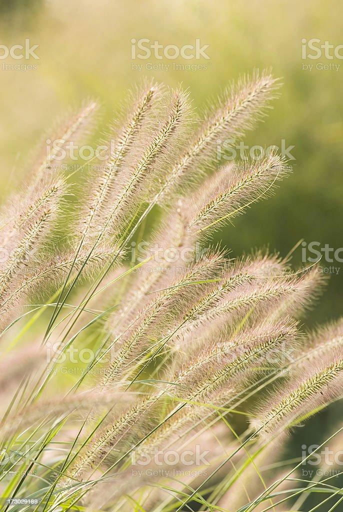 Fountain Grass in Autumn - IV stock photo