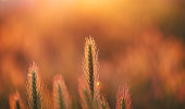 Fountain grass in meadow during sunrise