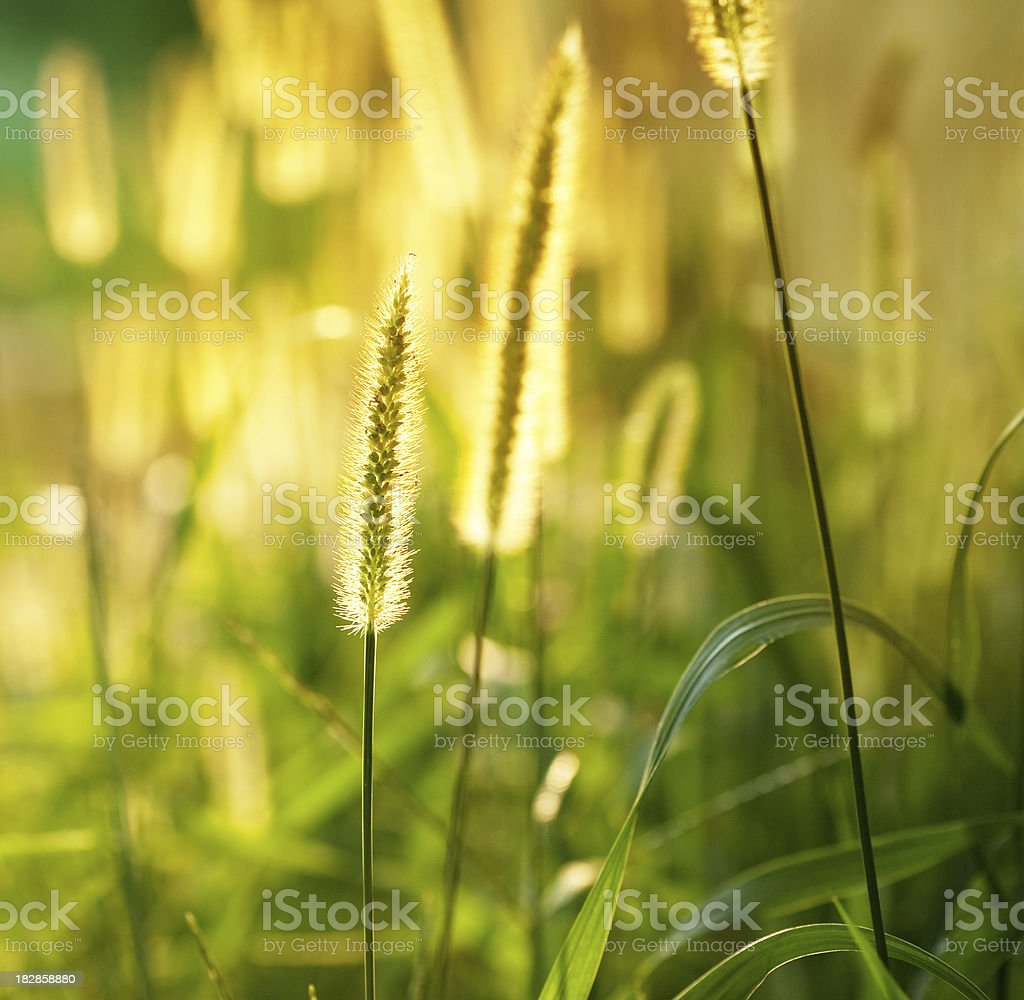 Fountain Grass stock photo