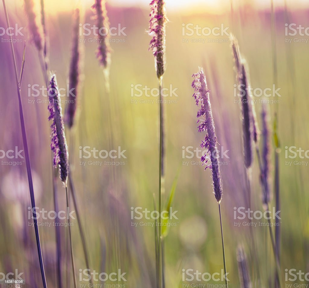 Fountain Grass royalty-free stock photo