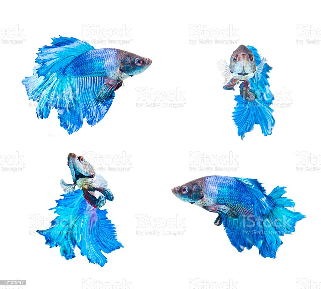 four actions of blue fighting fish royalty-free stock photo
