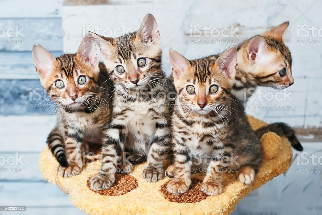 Four adorable brown spotted bengal kittens sitting on a stand stock photo