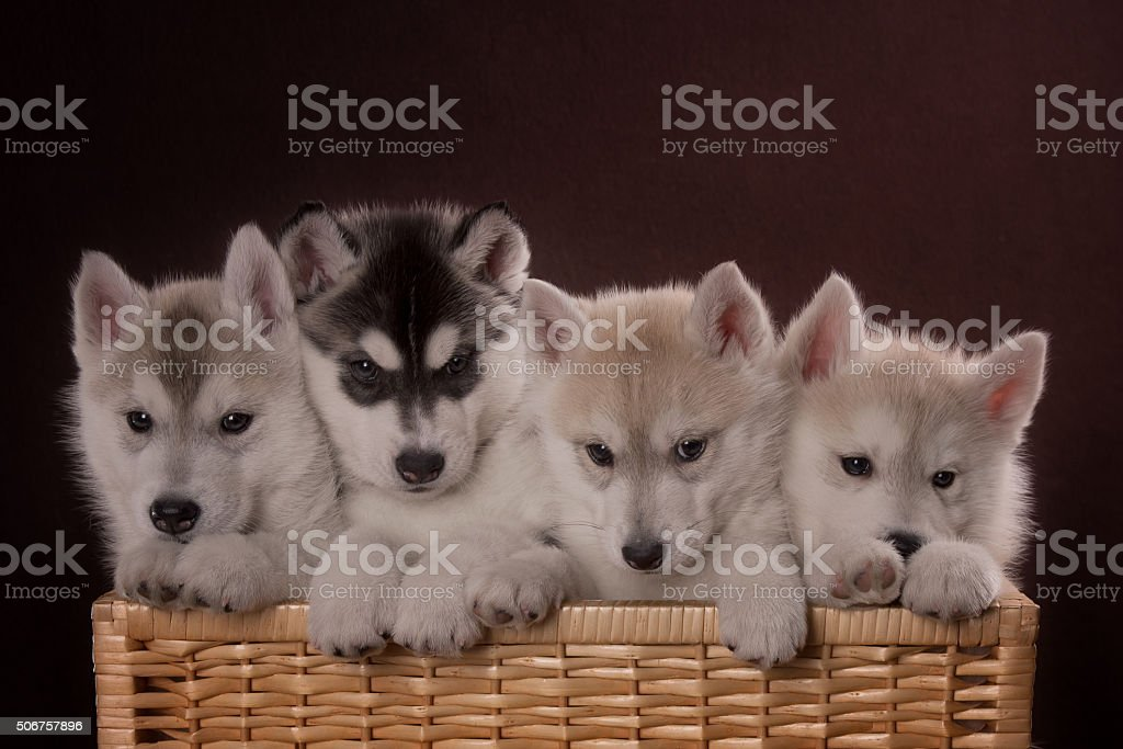 Four adorable Husky puppy in a basket stock photo