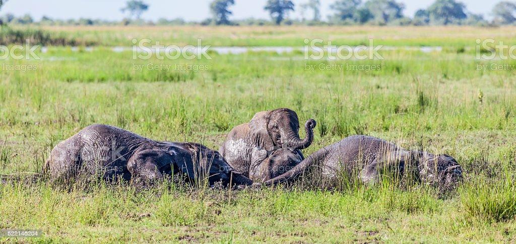 Four African Elephants; mud wallow: Chobe_NP, Botswana, Africa stock photo