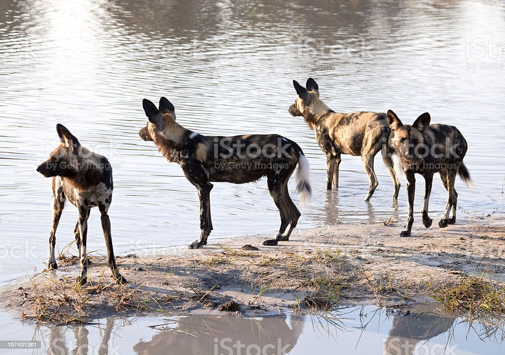 Four African Painted Hunting Dogs at a waterhole stock photo