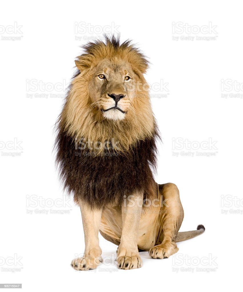 A four and a half year old lion on a white background stock photo