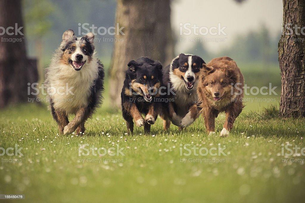 four Australian Shepherd stock photo