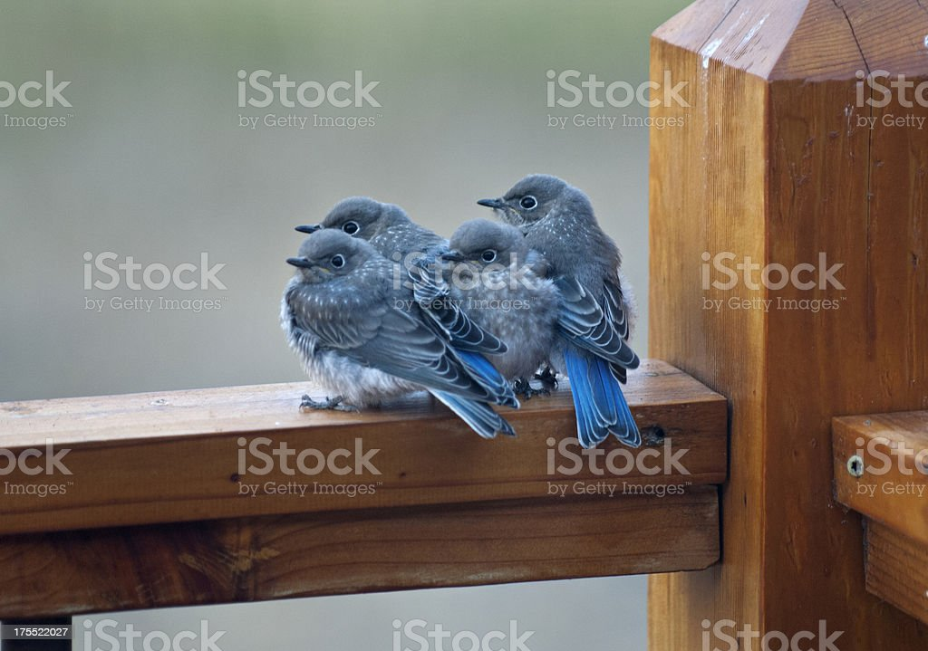 four baby birds in the morning stock photo