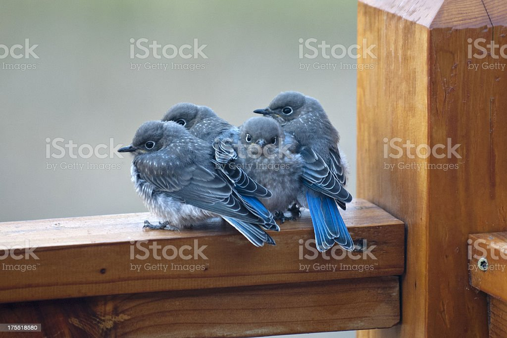 Four baby bluebirds huddled together for warmth and companionship stock photo