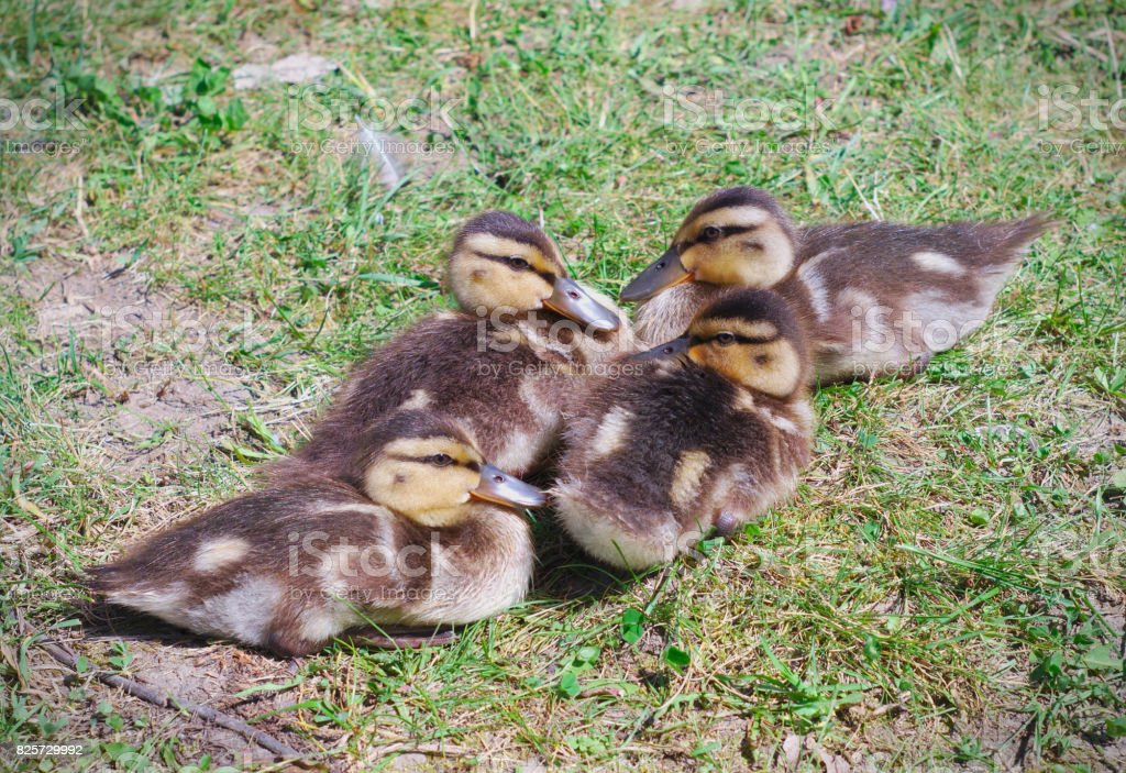 young ducks baby mallards chicks family four animals newborn group