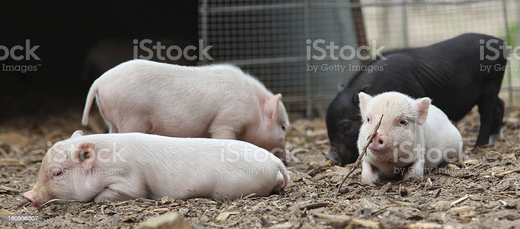 Four baby piglets playing in pen royalty-free stock photo