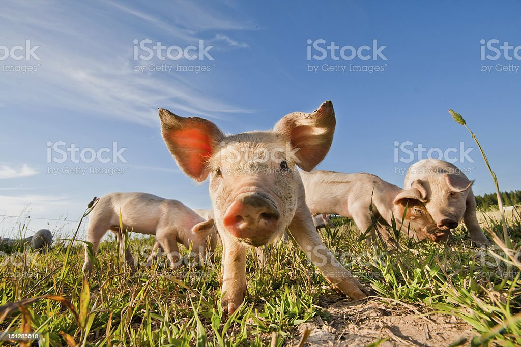 Four baby pigs on farm in Dalarna, Sweden stock photo