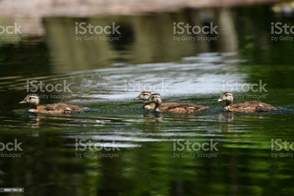 Four baby Wooducks swimming on calm, reflective creek with old boat reflection in background stock photo