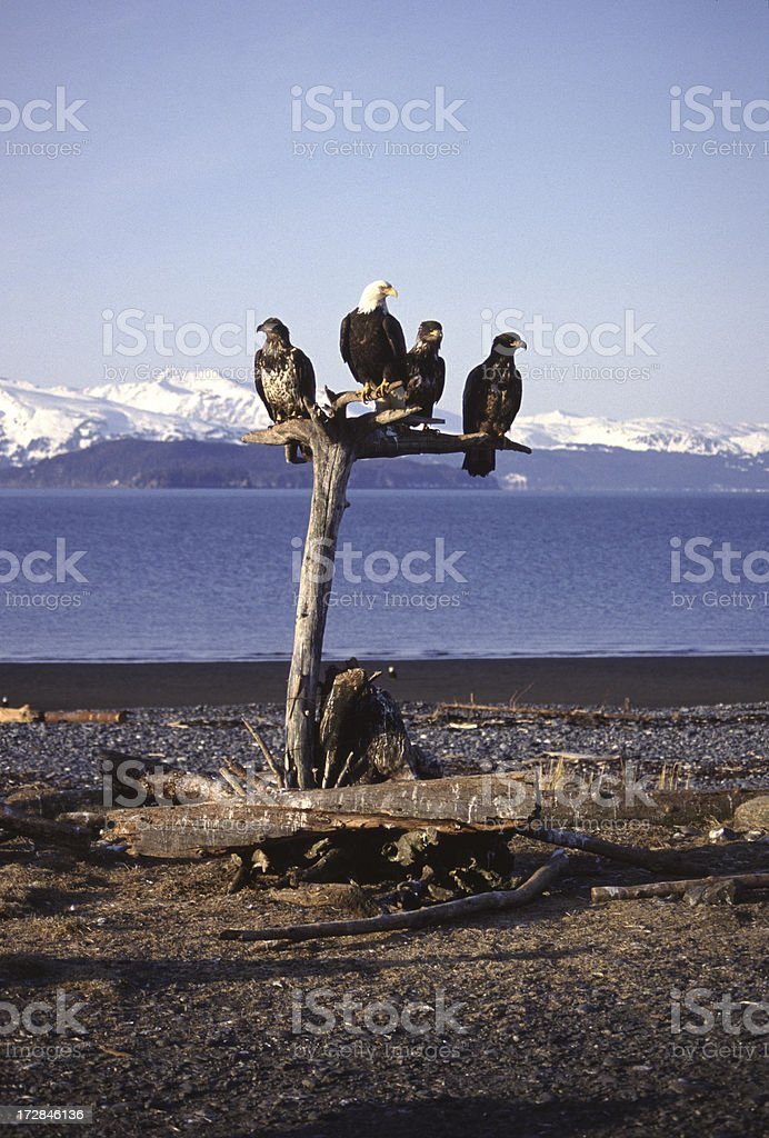 Four Bald Eagles royalty-free stock photo