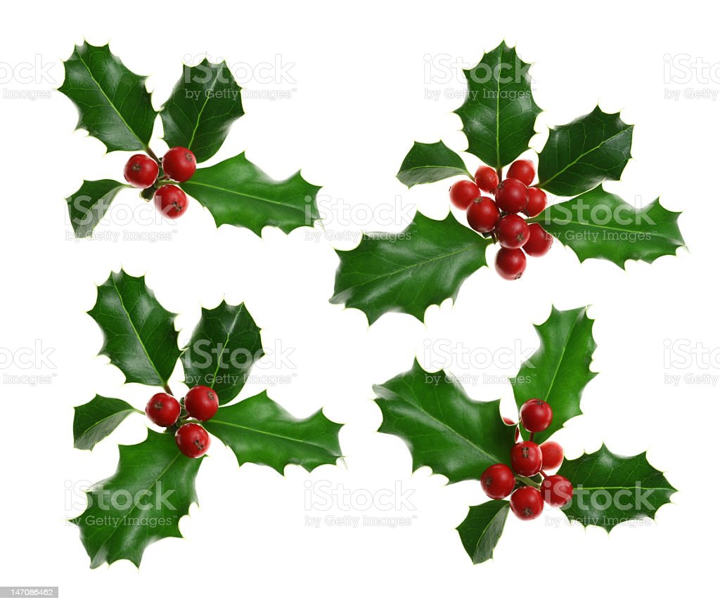 Four batches of holly with berries royalty-free stock photo