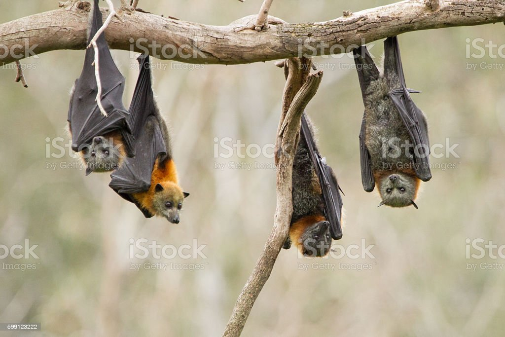 Four Bats Hanging Together stock photo