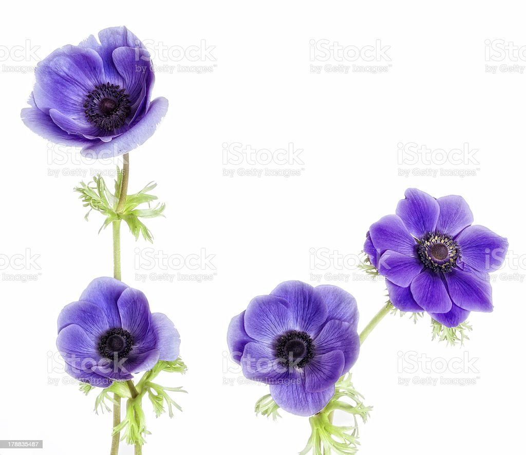 Four beautiful purple anemone flowers. royalty-free stock photo