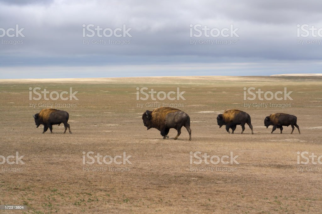 Four Bison Across the Landscape royalty-free stock photo