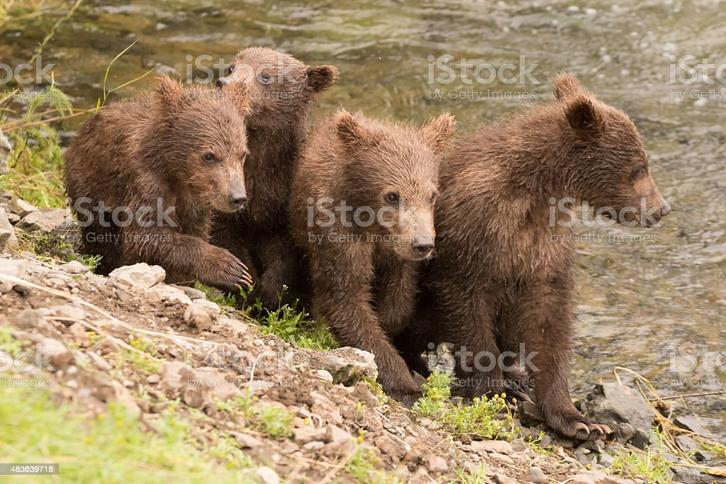 Four brown bear cubs beside Brooks River stock photo