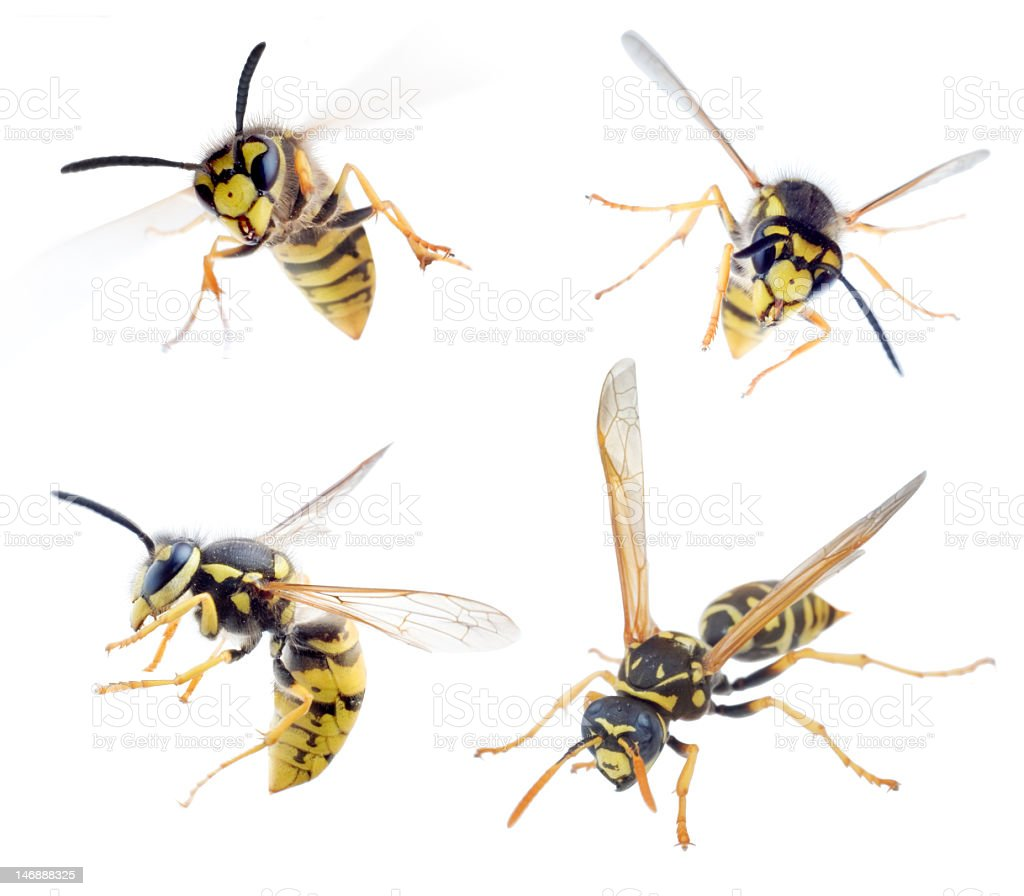Four buzzing wasps on a white background stock photo