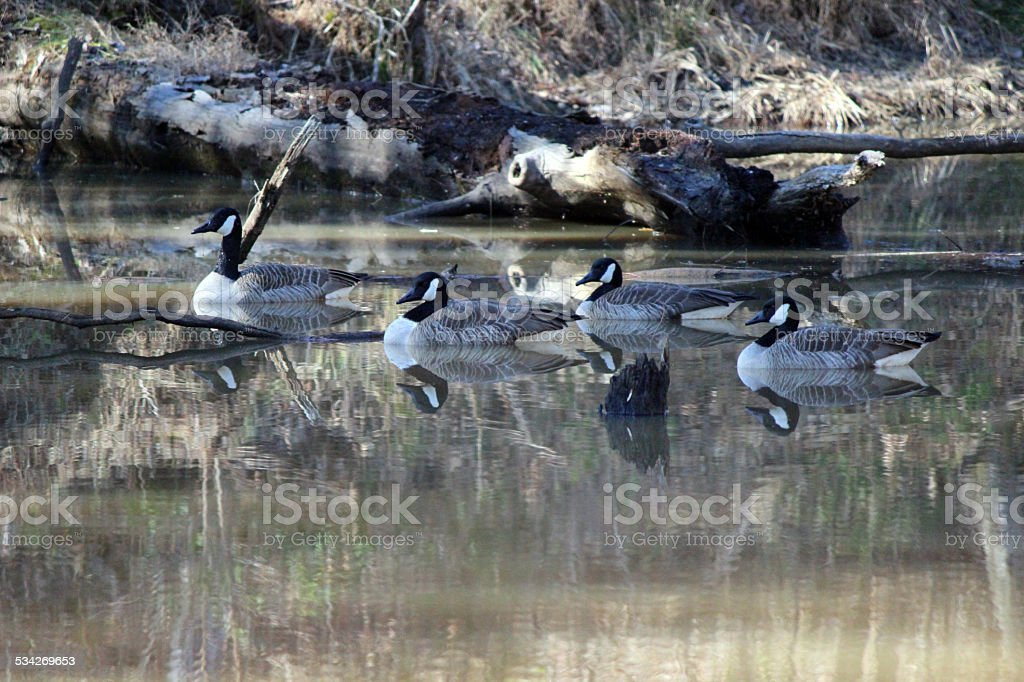 Four Canada Geese and their Reflections in Pond stock photo
