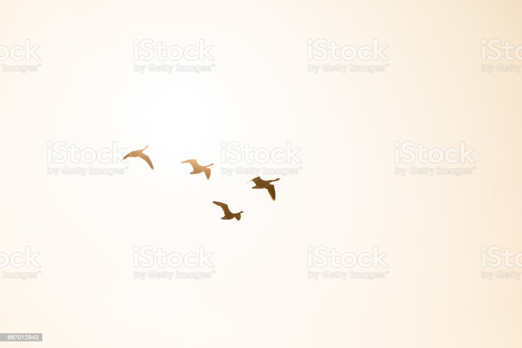 Four Canada Geese in flight backlit by the morning sunshine stock photo